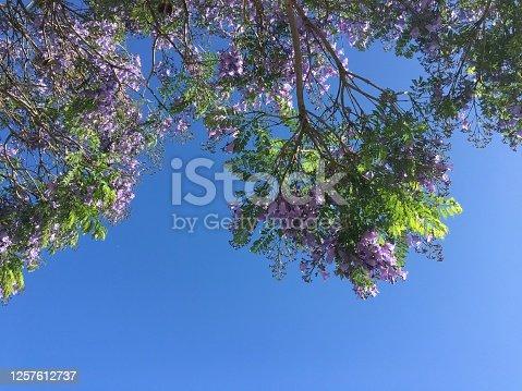 Purple jacaranda bloom against a bright blue sky
