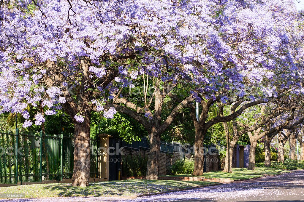 Purple Jacaranda Trees In Full Bloom Stock Photo More Pictures Of