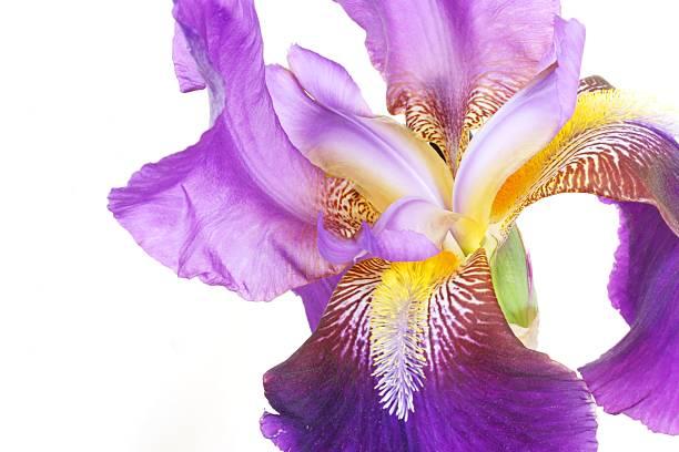 Purple Japanese Iris stock photo