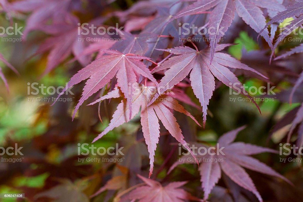 Purple Japanese Maple Leaves stock photo