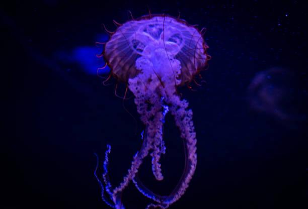 purple jellyfish stock photo