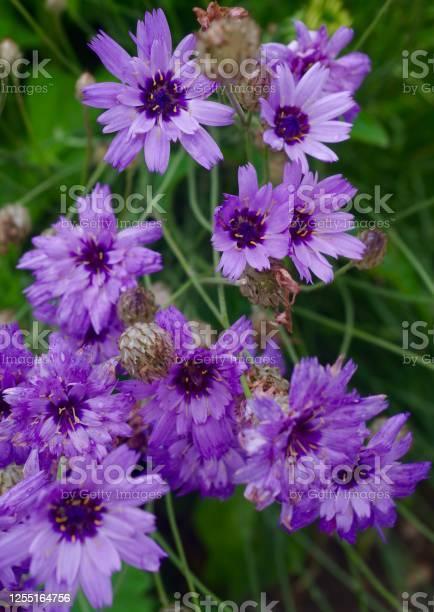 Purple knautia flowers picture id1255164756?b=1&k=6&m=1255164756&s=612x612&h=gowuozs4w8pexbh1exah6ep977 igupt03s1vg8w ye=