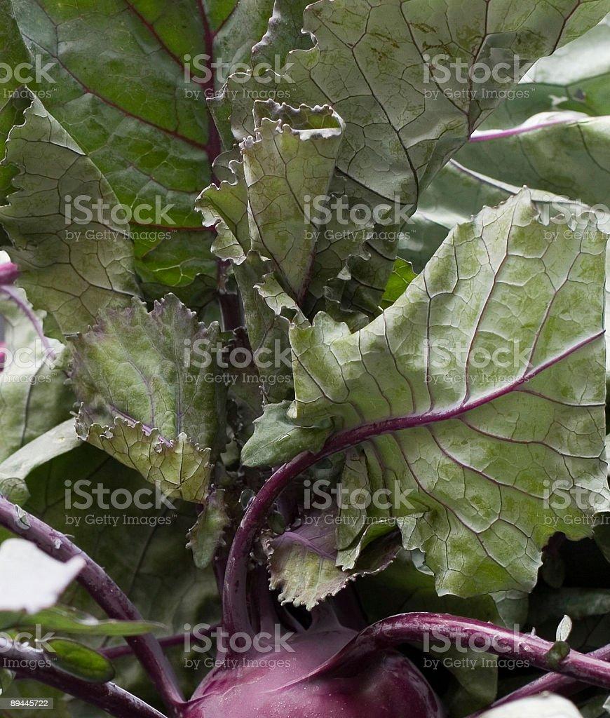 Purple Kohlrabi Leaves royalty-free stock photo