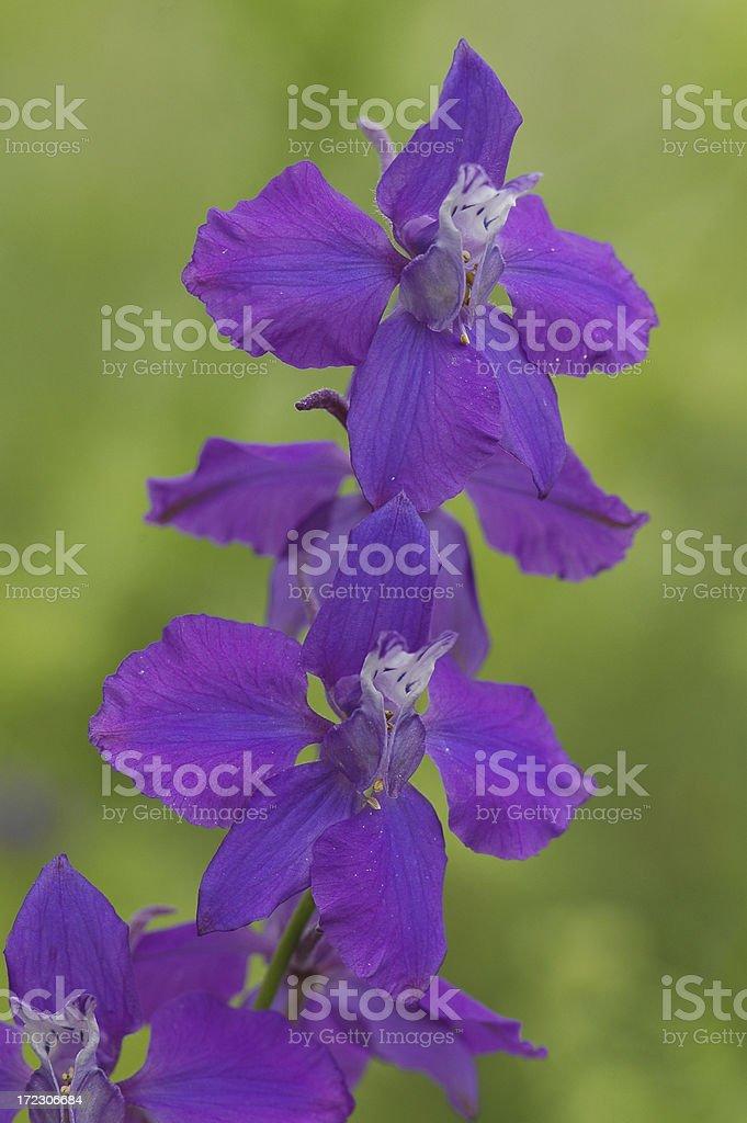 Purple Larkspur Flower stock photo