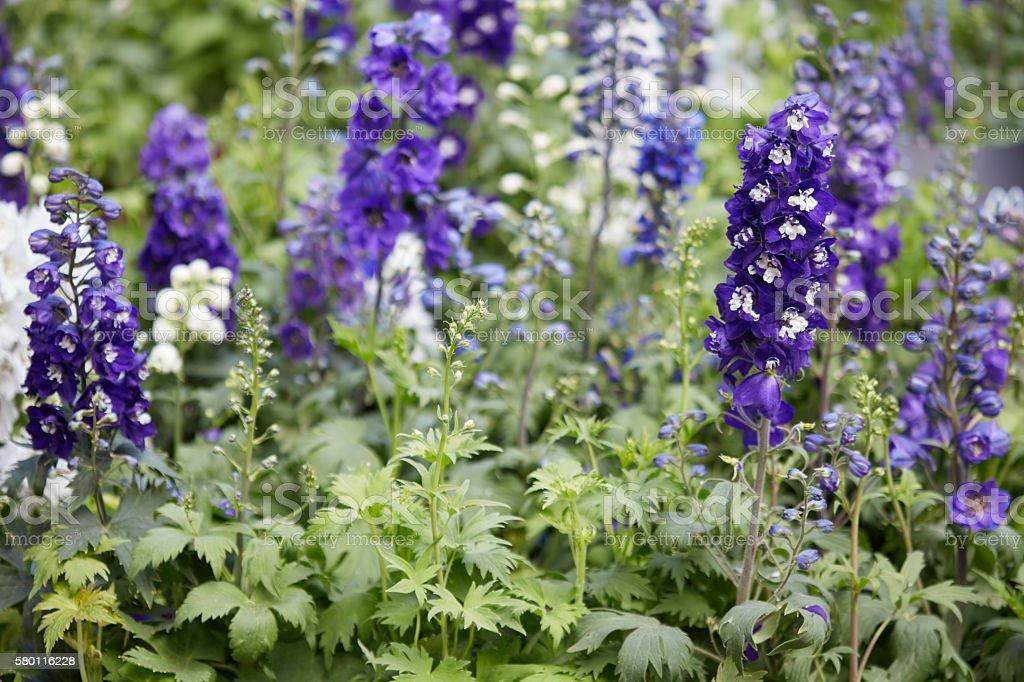Purple larkspur flowers, Delphinium elatum stock photo