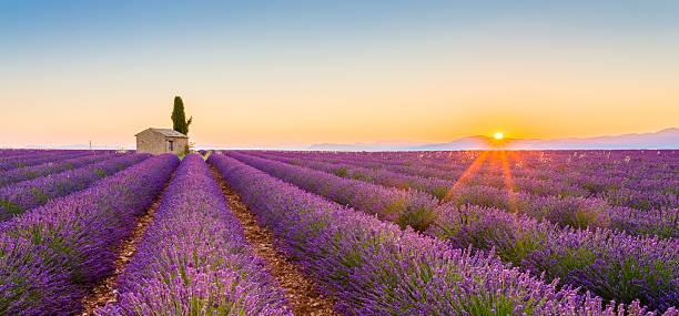 Purple lavender field in Valensole, France stock photo