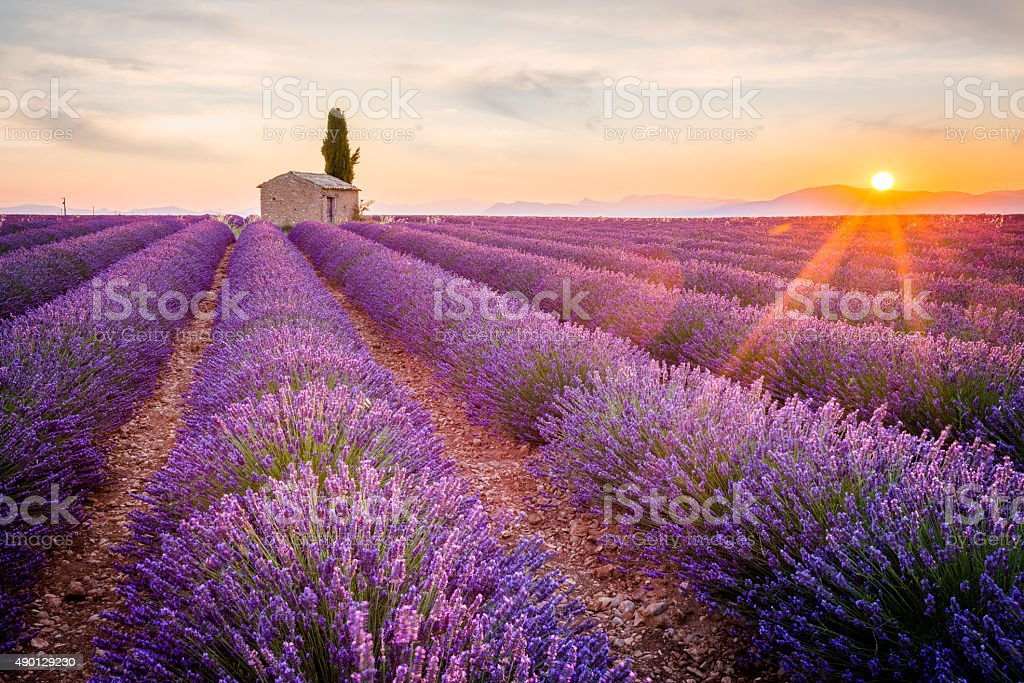 Purple lavender field in Valensole, France stock photo