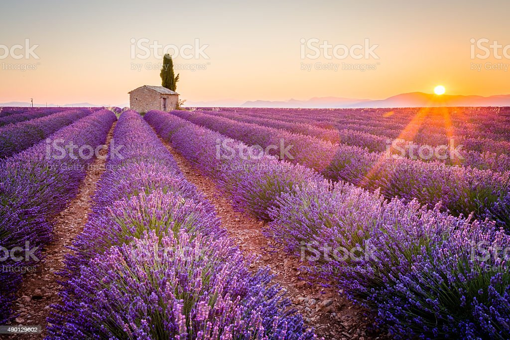 Purple lavender field in Valensole, France royalty-free stock photo