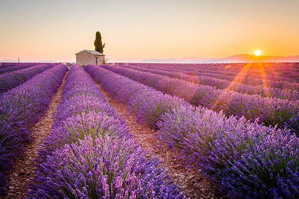 Purple lavender field in Valensole, France Provence, Valensole Plateau, France, Europe. Lonely farmhouse and cypress tree in a Lavender field in bloom, sunrise with sunburst. provence alpes cote d'azur stock pictures, royalty-free photos & images