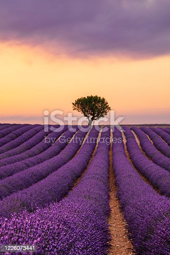 Purple blooming lavender field of Provence, France, at sunset with beautiful scenic sky and tree on horizon