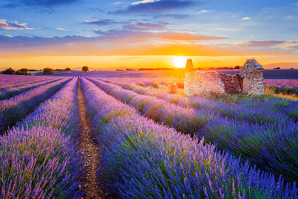 purple lavender filed in Valensole at sunset Sun is setting over a beautiful purple lavender filed in Valensole. Provence, France provence alpes cote d'azur stock pictures, royalty-free photos & images