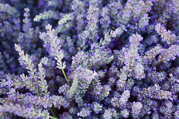 Purple Lavender Flower Herb and Spice Background Texture stock photo