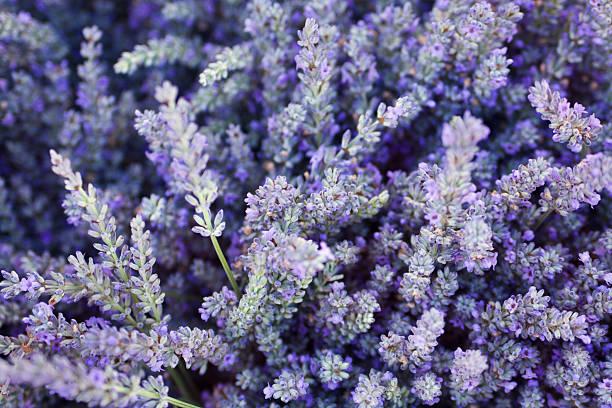 lavanda viola fiori sfondo texture di erbe e spezie - colore lavanda foto e immagini stock