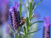 Purple lavender flower with a honeybee, harvesting pollen, on it. beautiful macro of a flower with the insect.