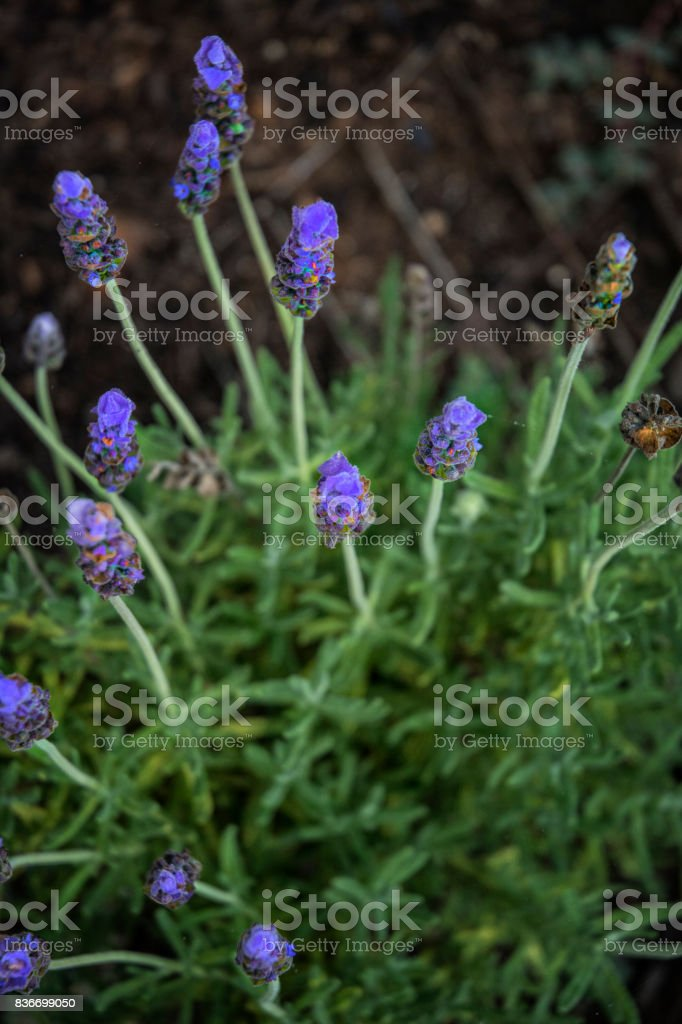 Purple Lavender Flowers In Oudoors stock photo