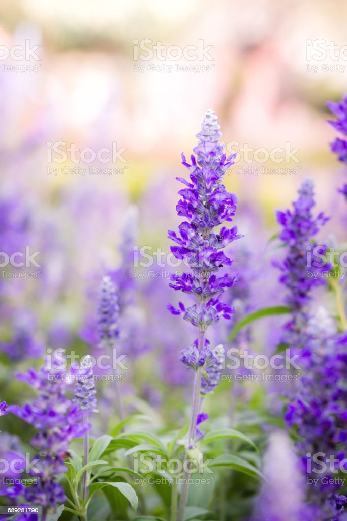 purple lavender flowers in the field. stock photo