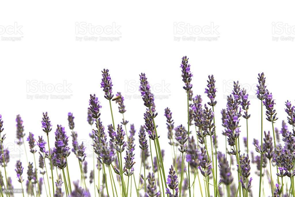 Purple lavender flowers stock photo