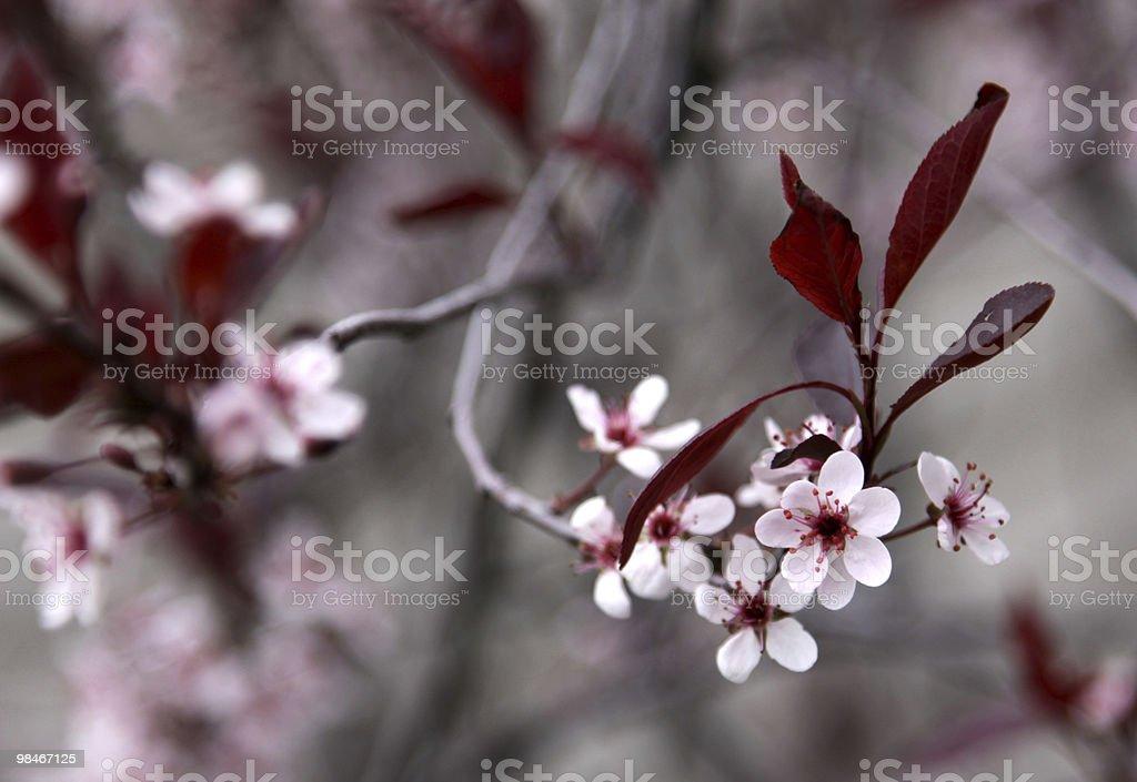 Purple Leaf Sand Cherry Flowers royalty-free stock photo