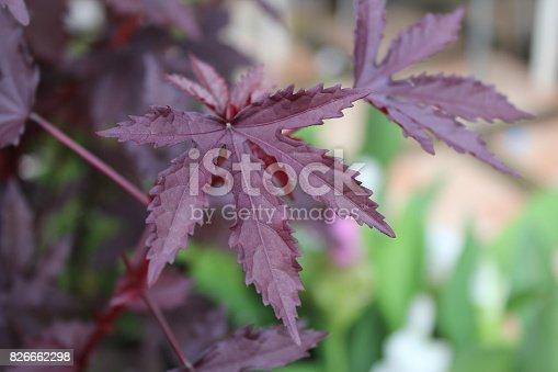 Purple leaves in the garden