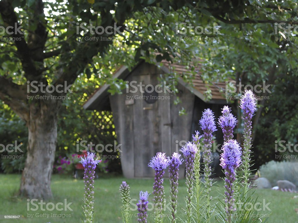 Purple Liatris Flowers In The Morning royalty-free stock photo