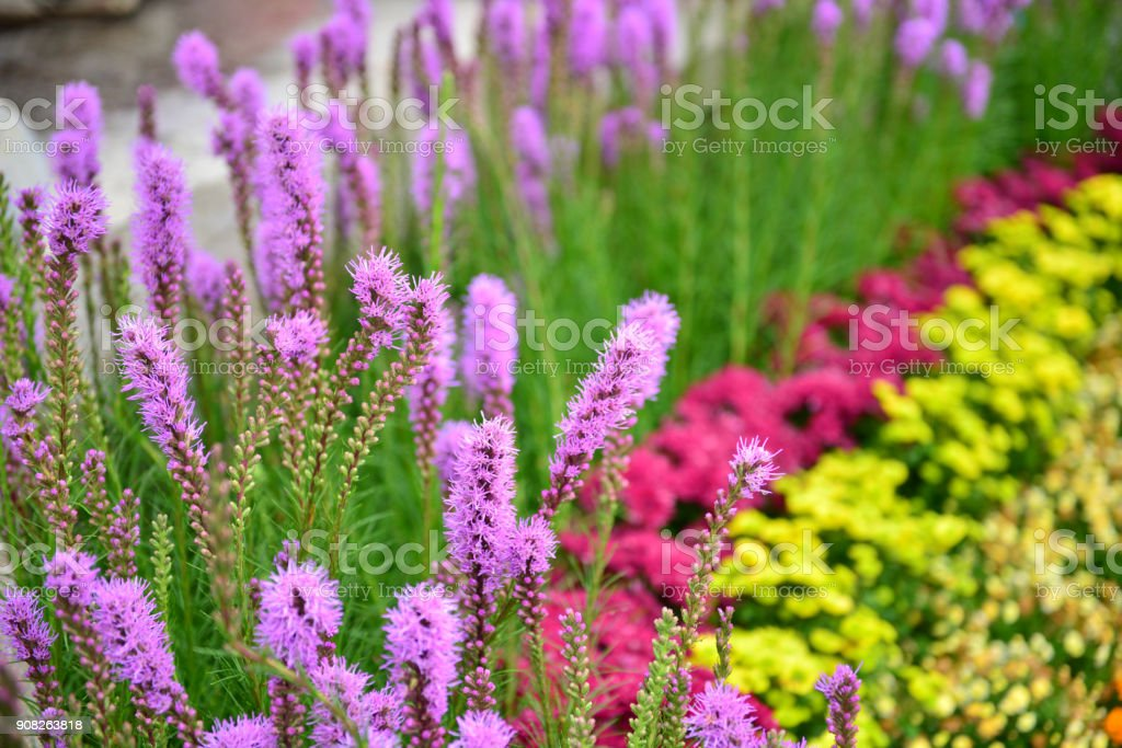purple liatris spicata flowers in the  garden stock photo
