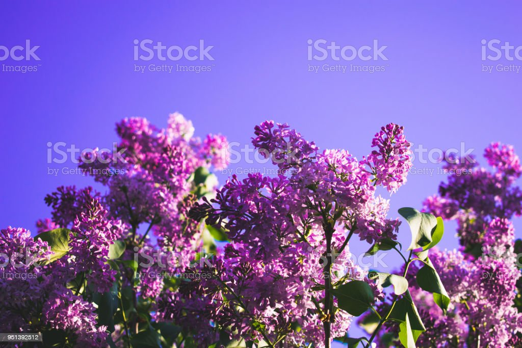 Purple lilac background stock photo