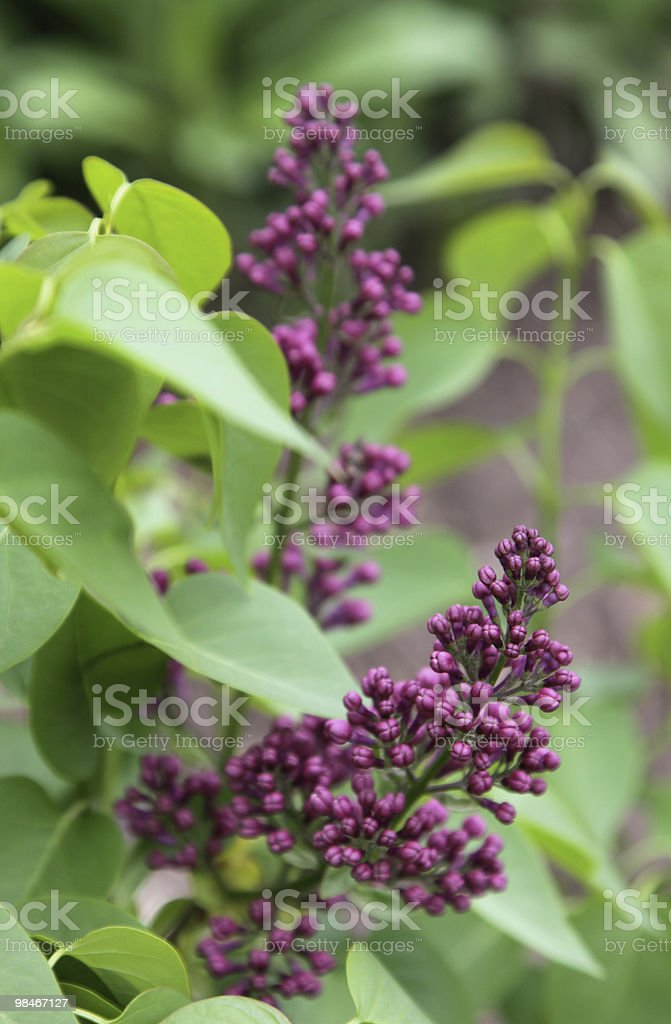Purple Lilac Flower Buds royalty-free stock photo
