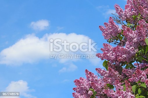 Purple lilac flowers against a blue sky with clouds on a sunny day. View with a place on the inscription. Greeting card with spring flowers. Holiday of spring with joyful mood.