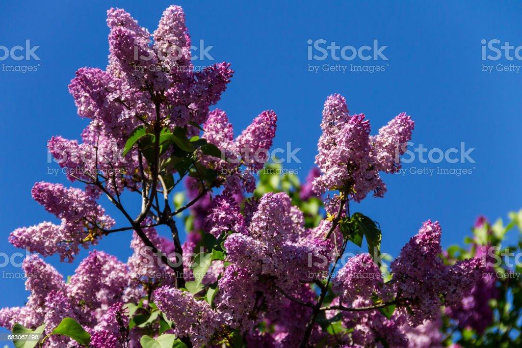 Purple lilac flowers on a bush foto de stock royalty-free