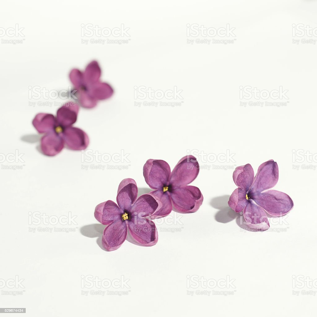 Purple lilac flowers on white background stock photo