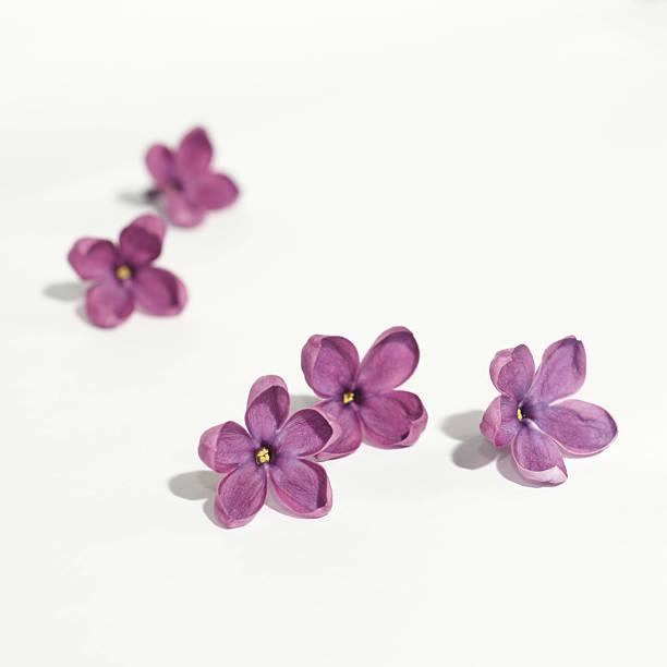 Fleurs Lilas Violet sur fond blanc - Photo