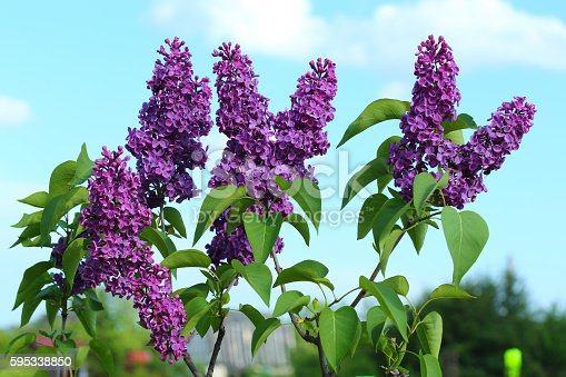 Flower of a lilac against the dark blue sky with clouds.