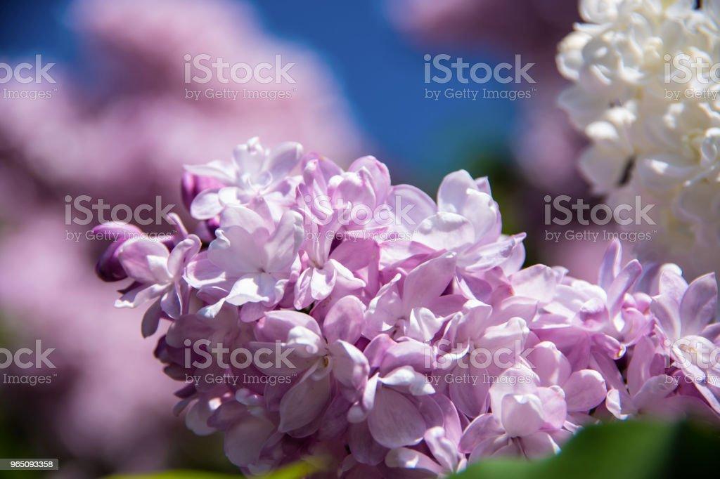 Purple lilac (Syringa vulgaris) royalty-free stock photo