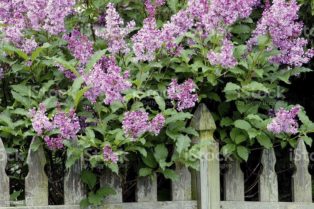 Purple lilacs next to a fence. royalty-free stock photo