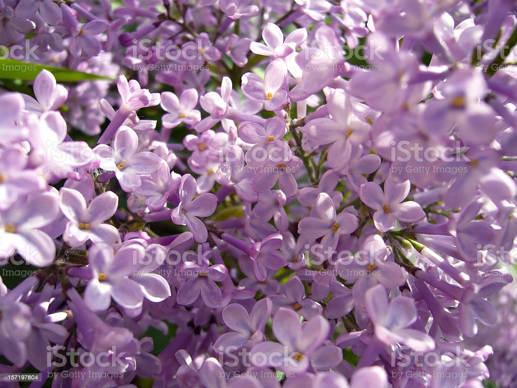 Purple lilacs royalty-free stock photo