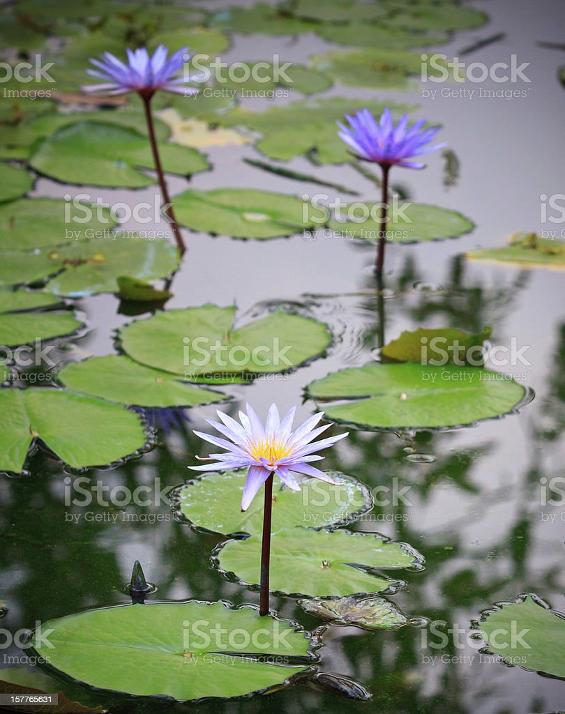 purple lilly lotus in nature pond royalty-free stock photo