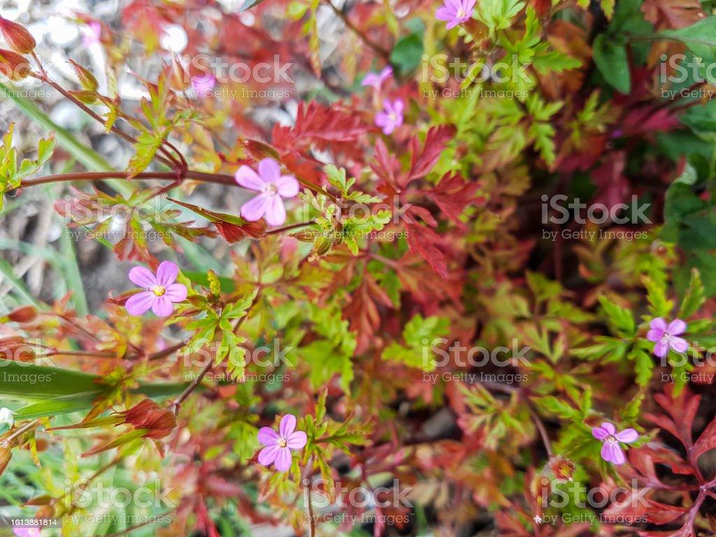 Petirrojo pequeño morado - foto de stock