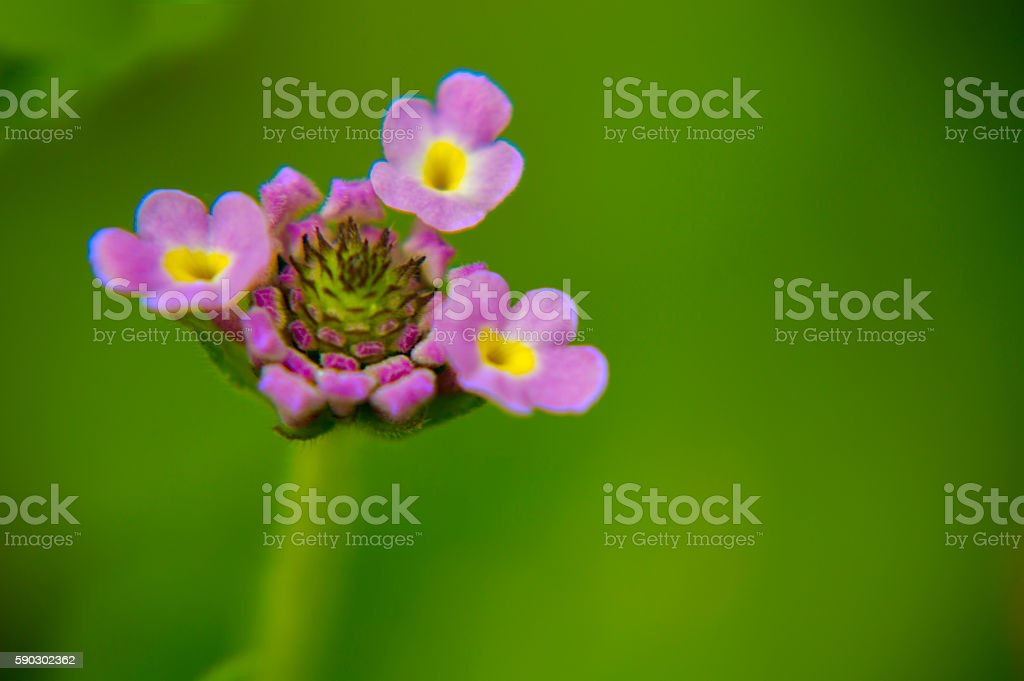 purple littles flowers royaltyfri bildbanksbilder