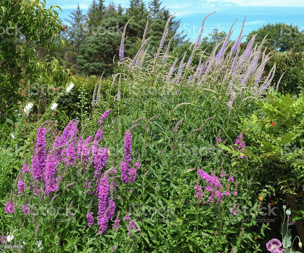 Purple Loosestrife and Lilac Fox Tail Lillies stock photo