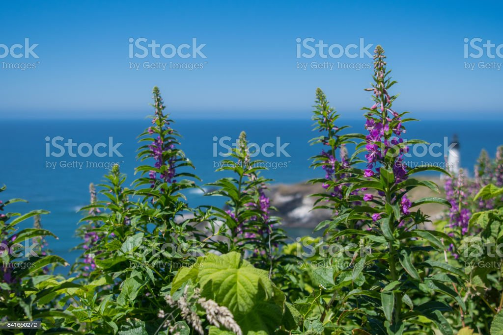 Purple Loosestrife Grows Above Pacific Ocean stock photo