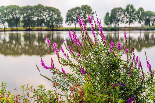 Purple loosestrife grows striking blossoming in the foreground of a small lake