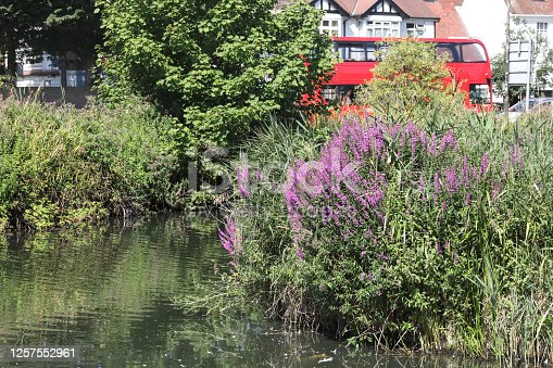 A purple summer flower on the banks of streams and rivers. Purple loosestrife (Lythrum salicaria) flowers growing in Mitcham Pond in Merton, Surrey, England. Summer 2020.