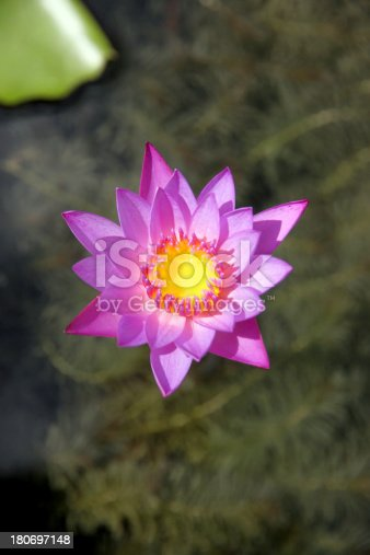 Closeup Picture Purple lotus and green leaf in the pond.