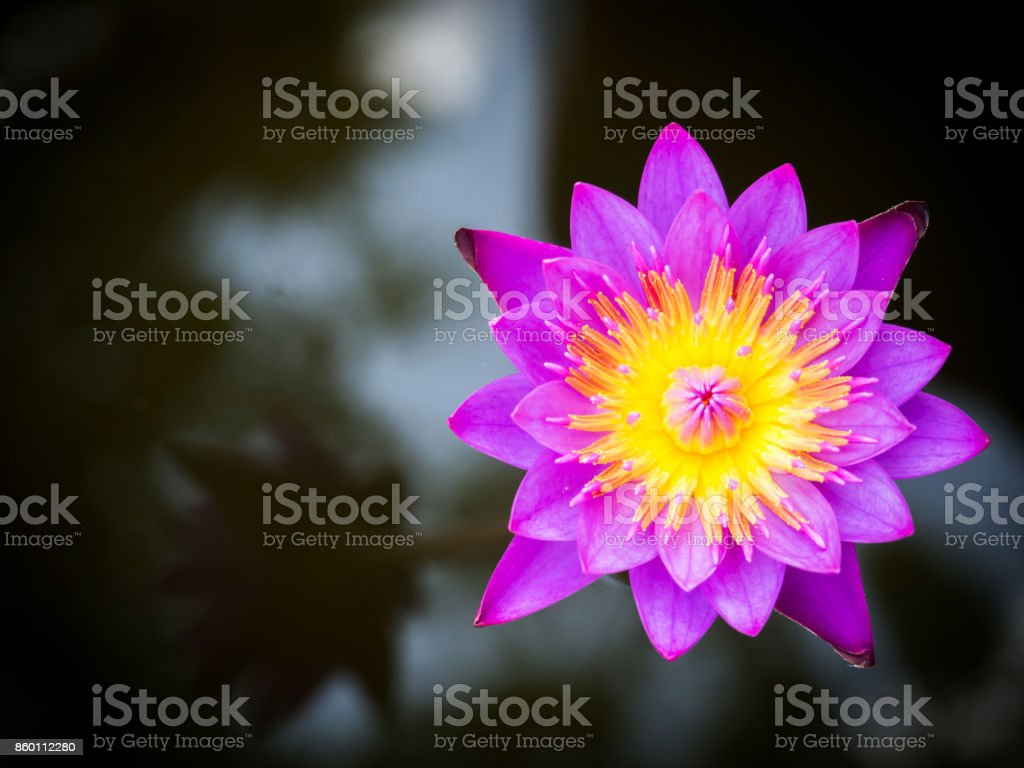 Purple lotus blooming in a pound. Top view. stock photo