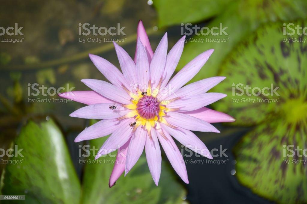 purple lotus flower in nature garden - Royalty-free Beauty Stock Photo