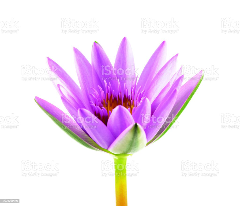 Purple Lotus Flower Isolated On White Background Beautiful Lotus