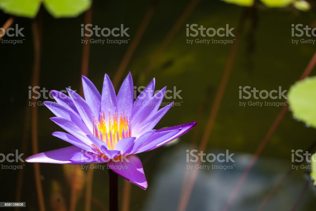 Purple lotus in pond at temple in thailand symbol of peaceful stock purple lotus in pond at temple in thailand symbol of peaceful royalty free stock mightylinksfo