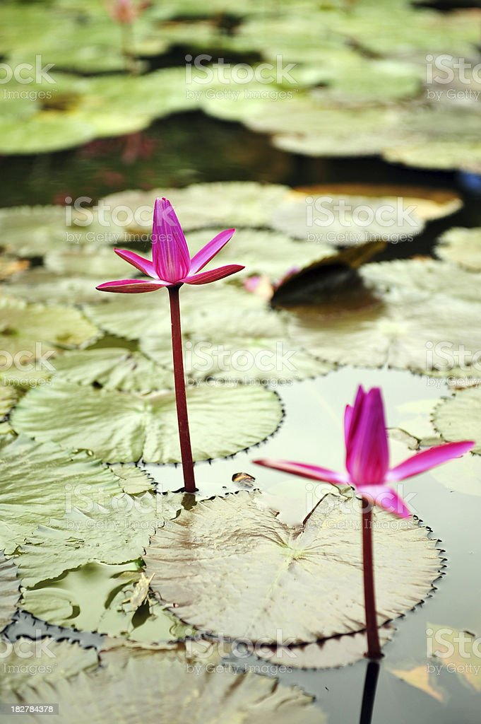 purple lotus - Royalty-free Beauty In Nature Stock Photo