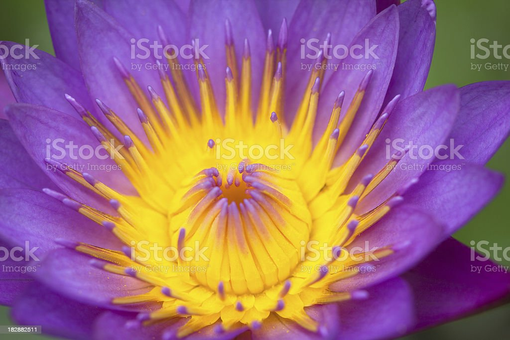 purple lotus royalty-free stock photo