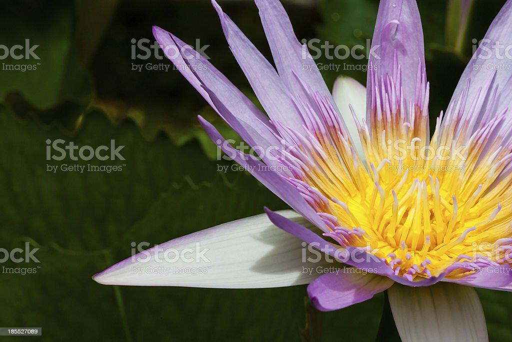 Purple lotus. royalty-free stock photo